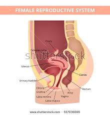Female Abdominal Anatomy Pictures Drawing Show Normal Female Abdominal Anatomy Stock Vector