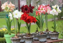 easy flowers to grow indoors huge blooms for winter blahs flower bulb crazy