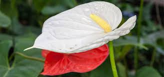 anthurium flower top 15 most beautiful anthurium flowers
