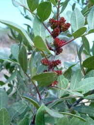 Mediterranean Kitchen Mastic Mastic Gum Wisdom Of The Plant Devas