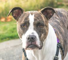 american pitbull terrier info american pit bull terrier dog breed information characteristics