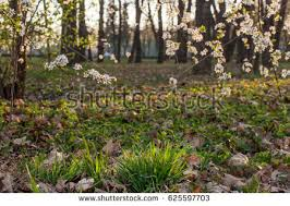 Lit Branches Gaura Lindheimeri Whirling Butterflies Stock Photo 447430498
