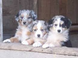 south texas australian shepherd rescue australian shepherd puppies for sale