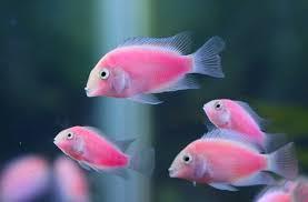taiwan team develops fluorescent pink fish taiwan today