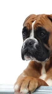10 boxer dog facts simplywallpapers com cute boxer dog pet animal desktop bakcgrounds