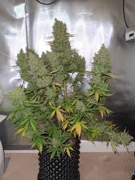 northern lights yield indoor autoblueberry grow review dutch passion s auto blue has it all