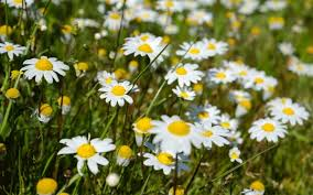 Daisy The Flower - top 10 facts about daisies telegraph