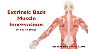 Interactive Muscle Anatomy 094 Innervations Of The Extrinsic Back Shoulder Muscles Youtube