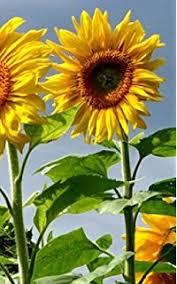 giant sunflower kit hundreds of jumbo sun flower seeds for