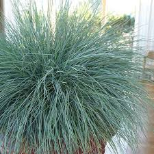 beyond blue ornamental grass roots rhizomes