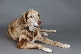 buy a australian shepherd australian shepherd lab mix characteristics appearance and pictures