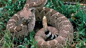 rattle snake sounds and pictures youtube