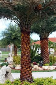 sylvester date palm tree 10 best palm trees images on tropical gardens tropical
