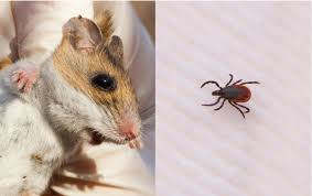 forbidding forecast for lyme disease in the northeast wnpr news