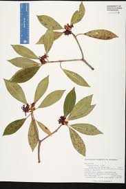 streamside native plants illicium floridanum species page isb atlas of florida plants