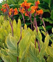 Canna Lilies Canna Lily Canna Hardy Tropicals Hardy Plantabase