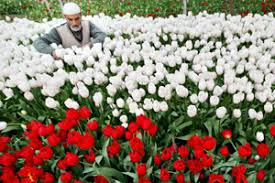 tulips from kashmir with love indian express