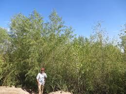 colorado native plants river delta flows help birds plants groundwater