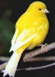 25 yellow birds ideas pretty birds beautiful