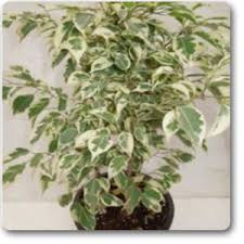 live indoor plants buy ficus starlight plant online at nursery live best plants at