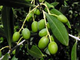 arbequina olive tree write a review arbequina olive tree