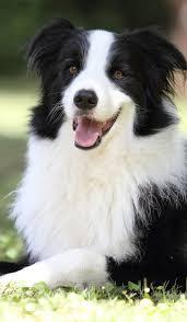 banana joe affenpinscher pedigree 1522 best dogs images on pinterest animals puppies and dogs