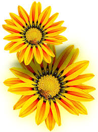 Yellow Flower - free photo isolated png yellow yellow flower max pixel