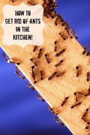 how to get rid of ants in the kitchen suburbia unwrapped