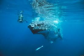 mermaids on animal planet what u0027s myth what u0027s real huffpost