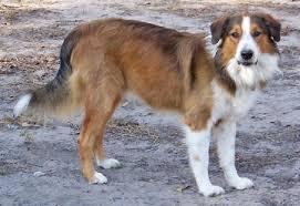 raising an australian shepherd beautiful english shepherd wingo ranch grailquest sam love the