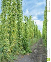 hops plants climbing of special supported strings stock photo
