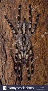 indian ornamental tarantula poecilotheria regalis