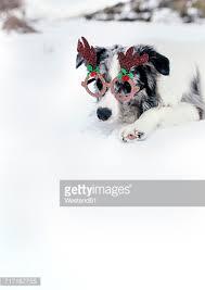 australian shepherd ornament australian shepherd dog black tricolor puppy with blue eyes stock