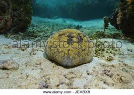 Starfish Cushion A Cushion Sea Star Or Starfish In Shallow Ocean Waters In The