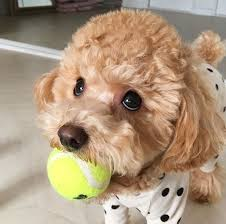 different toy poodle cuts 10 best puppies images on pinterest pets poodles and toy poodles