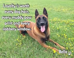 belgian shepherd qld loyalty is worth every dog hair every muddy paw print and every