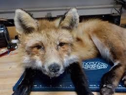 best 25 taxidermy fox ideas on pinterest funny taxidermy