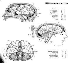 stylish inspiration ideas human brain coloring book something