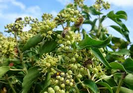 native plants for bees urban pollinators ivy hedera spp u2013 an important food source