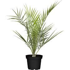 Yucca Wohnzimmer Grünpflanzen Online Kaufen Bei Obi