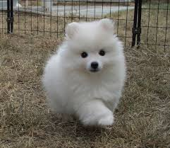 american eskimo dog new zealand toy american eskimo i want more puppies when i u0027m rich for sure