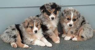 australian shepherd for sale australian shepherd puppies for sale parkland fl puppies for sale