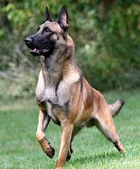 belgian sheepdog vs belgian malinois malinois vs german shepherd the ultimate comparison woof dog