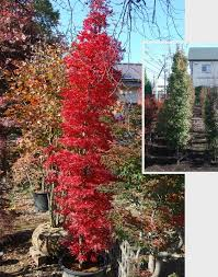 85 best narrow columnar trees shrubs images on