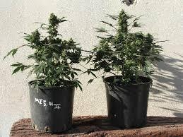 250 watt hid grow lights fero led grow light vs 250 watt hid l day 66 growers guide to