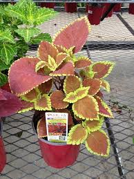 potted shade plants choosing shade plants for containers