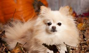 summer haircut pomeranian four pomeranian haircuts for dog lovers splash and dash for dogs