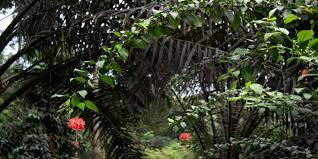 Japanese Lantern Plant Japanese Lantern Hibiscus Schizopetalus Plant Facts Eden Project