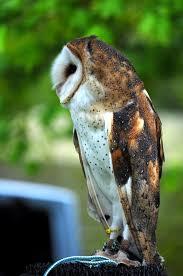 The Barn Owl Carol Stream Bird Festival