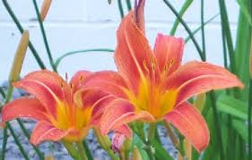 Lilies Flower How To Grow Tiger Lily Flowers By The Gardener U0027s Network